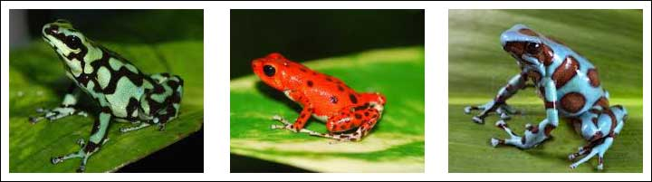 Panama: Proud of Its Pretty Frogs