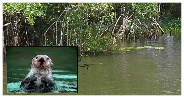 This Little Guatemalan Nutria was Swimming Around the Boat and Teasing the Dogs in the Sail Loft